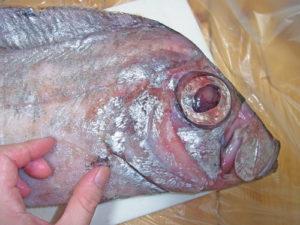 サケガシラ胸鰭