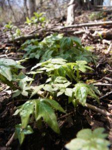 スギの植林の下生えのモミジガサ