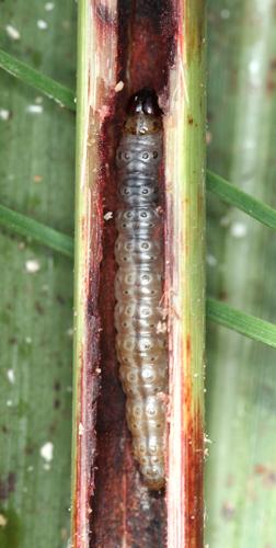 トウモロコシの害虫「アワノメイガ」も食べる
