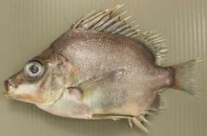 ぼうずコンニャクの「市場魚貝類図鑑」ツボダイのページより借用