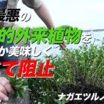 """""""史上最悪の侵略的外来植物""""ことナガエツルノゲイトウは美味しく食べられるのか"""