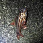 「餌取り金魚」の親分・オオスジイシモチが釣れたので食べてみた