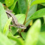 ニホンカナヘビがとっても可愛いんだけど食べてみた
