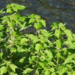 植え込みで存在感を発揮する雑草「カラムシ」は、超人気山菜「ミヤマイラクサ」の代わりになるか
