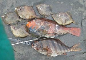 地魚,ブダイ,タカノハダイ