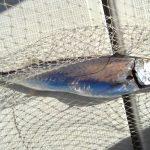 鏡面仕上げの全身大トロ深海魚・カゴカマスを塩炒りにして食べた