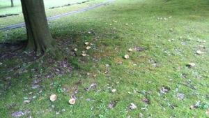 街路樹の下に菌輪を描いて発生