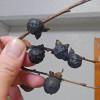「貴腐」ブドウ柿?食べごろのマメガキを食べてみた