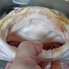 岡山・豊栄水産からドデカいカスザメが届いた!②:パーツごとの下ごしらえ
