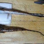 """キャスターにとっての裏ワザ魚は""""メゴチ""""!?②:ヨメゴチを食べてみた"""
