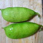 福神漬けに使われるナタマメ……の近縁種「ハマナタマメ」を食べてみた