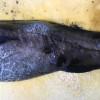 深海珍魚カナダダラを見て深海の過酷さに思いをはせる