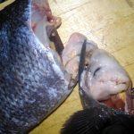 東京湾奥産のメジナは内臓(ぜんまい)まで美味い