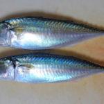 東京湾奥産のサバを美味しく食べるためにしめ鯖を魔改造してみた:野食のススメ第7回 番外編①