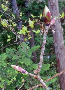 ハリギリは初めてゲット 大木になる種だから採りにくいんだよね