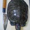 ミシシッピアカミミガメ(ミドリガメ)を捕まえて食べてみた:①葛藤と解体