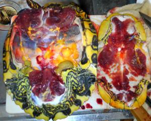 ミシシッピアカミミガメ,解剖