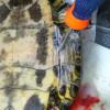 ミシシッピアカミミガメ(ミドリガメ)を捕まえて食べてみた:④カメを調理する時の注意など
