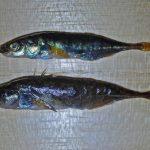 清流の象徴・トゲウオの一種「トミヨ」を食べてみた