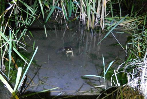 この状態のウシガエルを採るには釣りの方が圧倒的に有利
