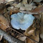 インディゴブルーが見事なルリハツタケは、美しく稀少、それでいて不味い