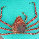 憧れの甲殻類・タカアシガニ……についていたエボシガイ(ヒメエボシ)を食べてみた