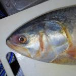 バングラディシュの国魚「イリッシュ」をジャパニーズマリネスタイル(酢締め)で食べてみた