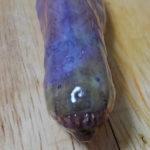 有明海のアイドル系エイリアン「ワラスボ」が釣れたので刺身etc.で食べてみた