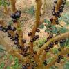 トライポフォビアにおすすめできないトロピカルフルーツ「ジャボチカバ」を静岡で狩ってきた