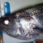 飯どころじゃねぇ、釜ごと貸せ! ローカル美味魚「クログチ(めいご)」を丸ごと買ってみた