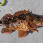 「熟成魚の刺身」に興味を持ったので、カサゴで試してみた
