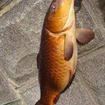 チェコ名物「鯉のビール煮」が食べたくなったので荒川水系で釣ってきた