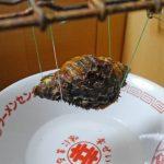 「法螺貝の身は酒を使って取り出す」と聞いたので、フグ毒を持つカコボラで試してみた