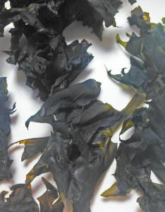 セイヨウハバノリ,乾燥