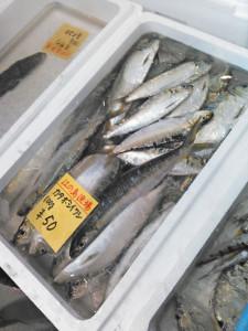カタボシイワシ,片瀬漁港