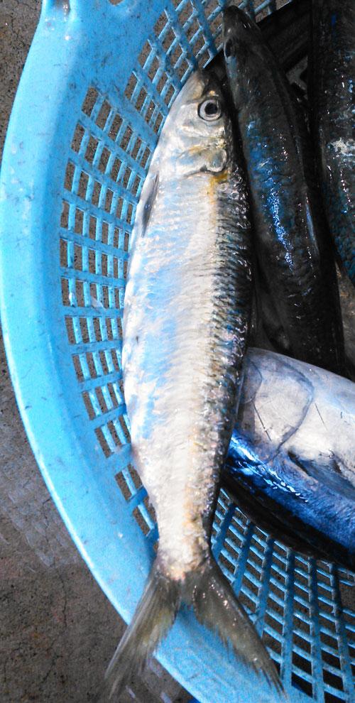 「南の海のニシン」カタボシイワシは刺身が美味しい