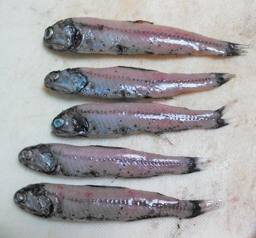 """禁断の""""ワックス美味い""""魚「ハダカイワシ」"""