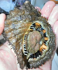 カコボラ,殻