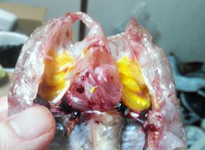 カナガシラ,鰓,口腔,黄色
