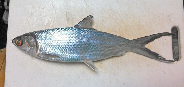 世界一の養殖魚「サバヒー」を買ってみた