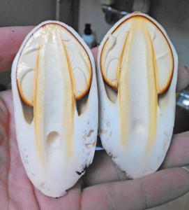 タマゴタケ,幼菌