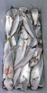 イシモチ,シログチ,地魚