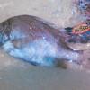 「マグロとカツオの国」焼津でマイナー魚を探す旅