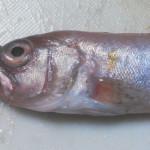 岡山・豊栄水産から赤い高級魚と珍魚が届いた