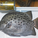 岡山・豊栄水産から当代一のレアキャラ・クロホシマンジュウダイが届いた