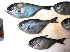 ミナミハタンポ,釣り