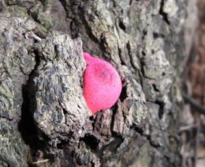 ピンクのキノコ