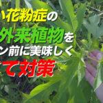 秋の花粉症と喘息を引き起こす人類の敵・オオブタクサを美味しく食べることはできるか