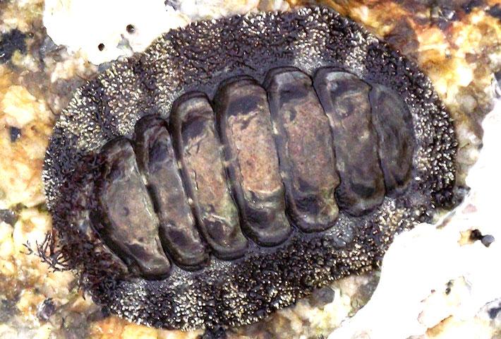 ヒザラガイで割とリアルに死にかけた話:野食ハンマープライス的 自然毒のリスクプロファイル③
