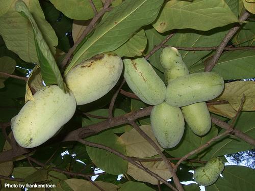 tropikalfruits.netより借用